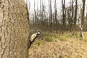 Pic épeiche (Dendrocopos major) sur un tronc dans un bois, Angleterre