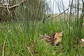 Muntjack deer (Muntiacus reevesi) laying in a meadow, england