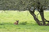 Muntjack deer (Muntiacus reevesi) lying in a meadow, England