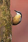 Nuthach (Sitta europaea) perched on the side of a mossy tree, England
