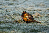Pheasant (Phasianus colchicus) standing in frost covered grass at sunrise, England