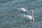 Mute swans (Cygnus olor), animal family with chicks swimming in the water, Switzerland, Europe