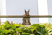 Red squirrel (Sciurus vulgaris) leaning on a window railing in spring, Moselle, France