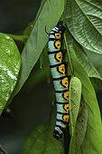 White-plagued sphinx (Manduca albiplaga) caterpillar on a leaf, Montagne de Fer, French Guiana
