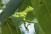 Green Iguana (Iguana iguana) young on a branch, Montagne de Fer, French Guiana