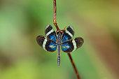 Libellule (Zenithoptera viola) sur une tige, Saramaca, Guyane Française