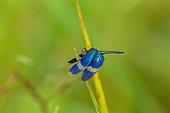 Libellule (Zenithoptera viola) sur une feuille, Saramaca, Guyane Française