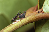 Trehopper (Tritropidia bifenestrata) and its eggs, protected by a Carpenter ant (Camponotus sp), Belizon, French Guyana