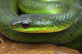 Blind Ground Snake (Erythrolamprus typhlus) portrait, Belizon, French Guiana