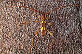 Longhorn (Nyssicus quadriguttatus), Saut Maripa, French Guiana