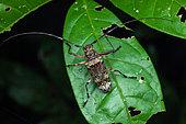 Longhorn beetle (Macropophora trochlearis) on a leaf, Saut Maripa, French Guiana