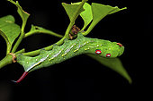 Sphinx chiron (Xylophanes chiron nechus) caterpillar, Saut Maripa, French Guiana