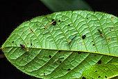 Assassin bugs (Zelus annulosus) under a leaf, Saut Maripa, French Guiana
