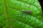 Assassin bug (Zelus annulosus) on a leaf, Saut Maripa, French Guiana
