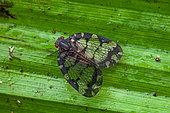 Planthopper (Nogodina reticulata) on a leaf, Saut Maripa, French Guiana