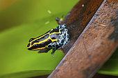 Amazonian Poison Frog (Ranitomeya amazonica) in a Bromeliad, Saut Maripa, French Guyana