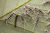Automeris (Automeris egeus) caterpillars, on a leaf, Saut Maripa, French Guiana