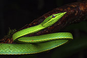 Green Vine Snake (Oxybelis fulgidus) portrait, Montagne de Fer, French Guiana