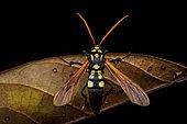 Moth (Orcynia calcarata) on dead leaf, Montagne de Fer, Guyane Française