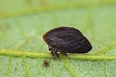 Leaf treehopper (Stegaspis fronditia) male on a leaf, Montagne de Fer, French Guiana