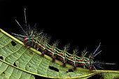 Saturniid moth (Pseudoautomeris sp) on a leaf, Montagne de Fer, French Guiana