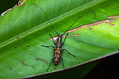 (Hypselotropis pustulata) sur une feuille, Montagne de Fer, Guyane Française