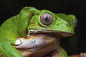 Monkey Frog (Phyllomedusa bicolor) portrait, Montagne de Fer, French Guiana
