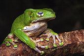 Monkey Frog (Phyllomedusa bicolor) at rest, Montagne de Fer, French Guiana