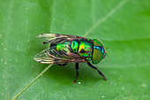 Hoverfly (Ornidia obesa) on a leaf, Montagne de Fer, French Guiana