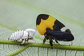 Treehopper (Phyllotropis fasciata) and exuviae, Montagne de Fer, French Guyana