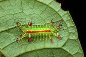 Slug moth (Euclea sp) catepillar on a leaf, Montagne de Fer, French Guiana