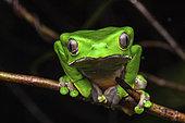 Monkey Frog (Phyllomedusa bicolor) portrait, Petit Saut, French Guiana