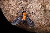 Holophaea moth (Holophaea vesta) on leaf, Saramaca, French Guiana