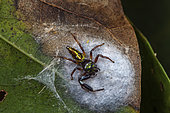 Jumping Spider (Lurio sp) on is cocoon, Saramaca, French Guiana