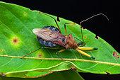 Assassin bug (Ploeogaster sp) on a leaf, Saramaca, French Guiana