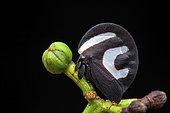 Treehopper (Membracis foliatafasciata) on a bud, Crique Canceler, French Guiana