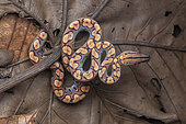 Rainbow boa (Epicrates cenchria) young on a leaf, Petit Saut, French Guiana