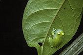 Glassfrog (Hyalinobatrachium cappellei) male singing, Montagne des Singes, French Guiana