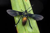 Macrocneme moth (Macrocneme lades ?) on a leaf, Saramaca, French Guiana