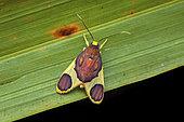 Trichromia moth (Trichromia aurantiipennis) on a leaf, Sramaca, French Guiana