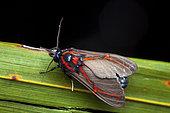Himerarctia moth (Himerarctia docis) on a leaf, Saramaca, Guyane Française