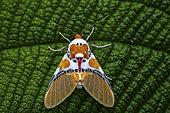Idalus moth (Idalus critheis) on a leaf, Saramaca, French Guiana