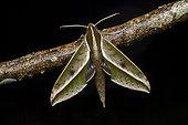 Amadis Sphinx (Xylophanes amadis) on a twig, Saramaca, French Guiana