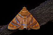 Eulepidotis moth (Eulepidotis corrina) on a branch, Saramaca, French Guiana