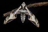 Sphinx (Protambulyx goeldii) on a twig, Saramaca, French Guiana