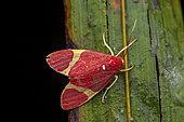 Trichromia moth (Trichromia perversa) on a leaf, Saramaca, French Guiana