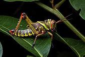 Violet-winged Grasshopper (Tropidacris collaris) nymph on a leaf, Saramaca, French Guiana