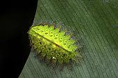Slug moth (Natada sp) caterpillar with parasite eggs, Saramaca, French Guyana