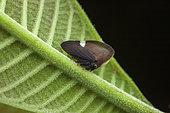 Treehopper (Membracis tectigera) on a leaf, kaw, French Guiana