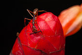 Trap-jaw ant (Odontomachus hastatus) on a bud, Kaw, French Guiana
